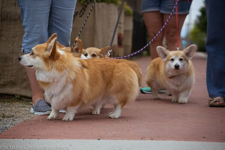 It's a Corgi parade!