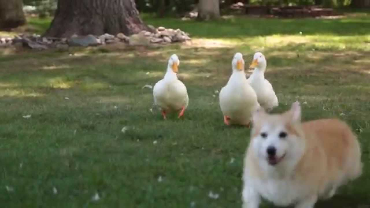 It's a video! Click the pic to view Bob and Lola play with ducks on YouTube.