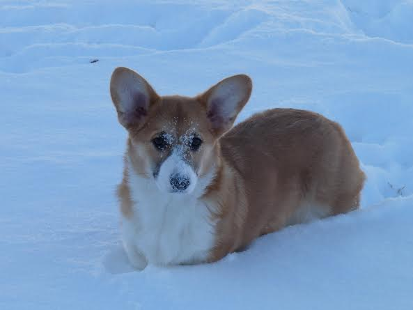 Pippa in the snow.