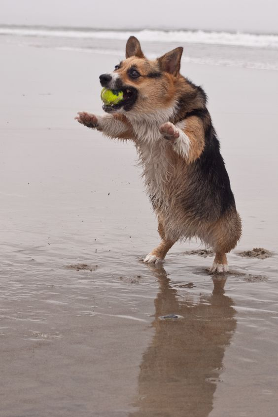 At Corgzilla boot camp. https://www.pinterest.com/pin/448741550341705892/
