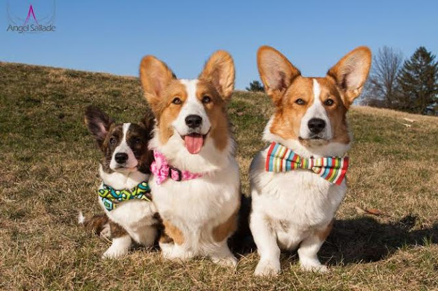 The Daily Corgi / bit.ly/2b1KYX1
