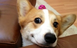 14 Corgis (and one Doxie) Who Will Have Whatever You're Having