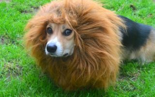 Bungle In The Jungle: Lion-Corgi Lineup!