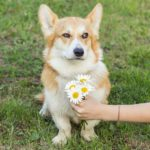 Wordless Wednesday: 12 Corgis Having None of Your Nonsense