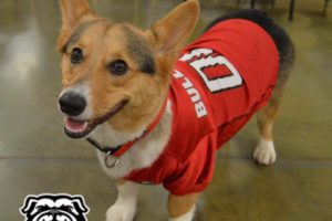 Throwback Thursday: Are You Ready For Some Football Corgis?