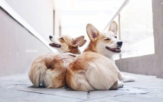 Throwback Thursday: 20 Corgis Who Caught You Looking At Their Butt. AGAIN.