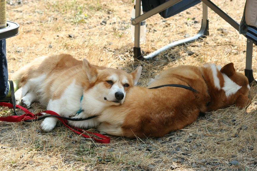 The Daily Corgi / bit.ly/2cnqebt