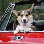 Road Trippin' with #Corgis: More Smiles to the Miles!
