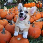Corgis and Pumpkins: A Casting Call!