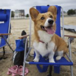 WAG-worthy Wednesday: 32 Corgi Tongues!
