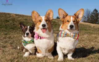 Time To Get Your Cardigan Welsh #Corgi On!