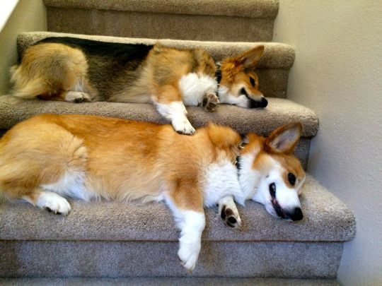 stubbiethecorgi.tumblr.com