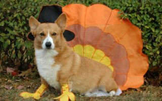 Let's Talk Turkey, Corgi Nation