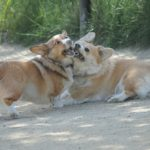 Corgi Meetup Directory: Find Some FRAPPY Friends!