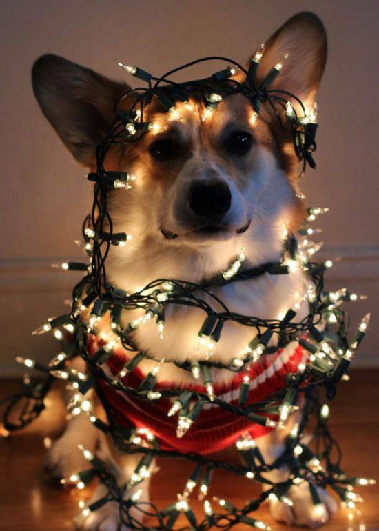 It S A Christmas Corgi Paw Pourri The Daily Corgi