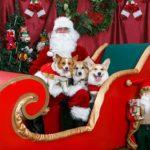 More Christmas Corgis + The Queen In A Corgi Sweater!