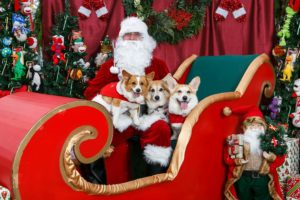 More Christmas Corgis + The Queen In A Corgi Sweater!