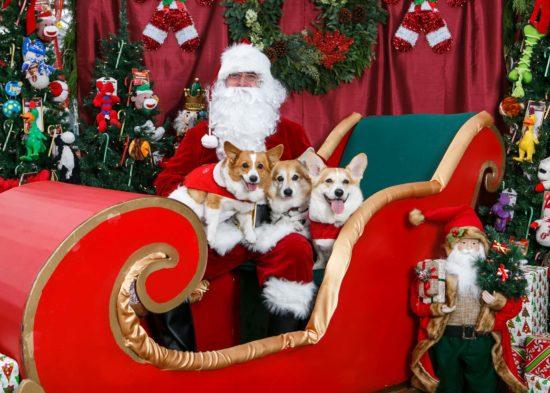 rambo bear and sassy meet the big elf himself - Christmas Corgi