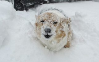 Friday Frolics: Frosty Corgi Fun!