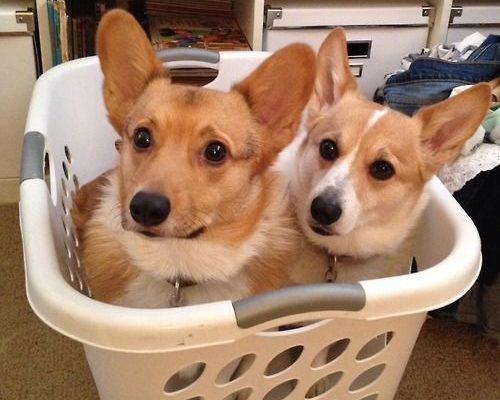 A Tisket, A Tasket, A Corgi In A Laundry Basket!