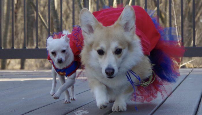 2 Corgis + 1 Chihuahua = A Team!