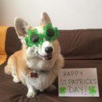 A Very Corgi St. Patrick's Day!