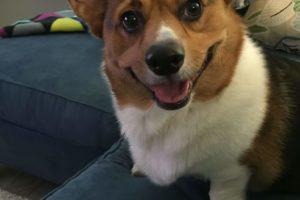 Baker's Derpy Dozen: 13 Corgi Smiles To Go!