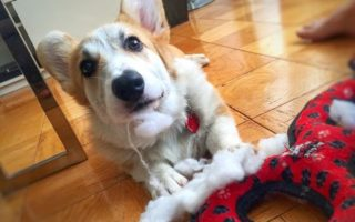 Corgi Is The Name, De-Stuffing Is The Game!