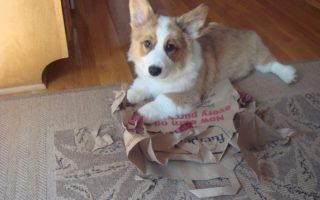 Destructo Dog: 10 Corgis Victorious Over Boxes, Books And Bags