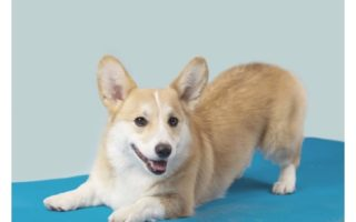 Corgi Yoga: The Downward Dog