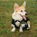 If The Tuxedo Fits: Corgis Puttin' On The Ritz!