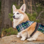 (Nearly) Wordless Wednesday: The Kilted Corgi!