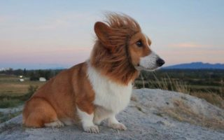 I Am The Lion Corgi!