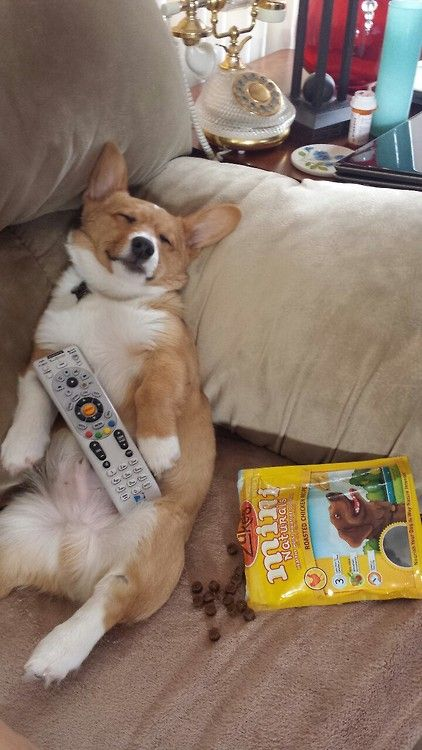 Image result for pictures of corgis watching tv