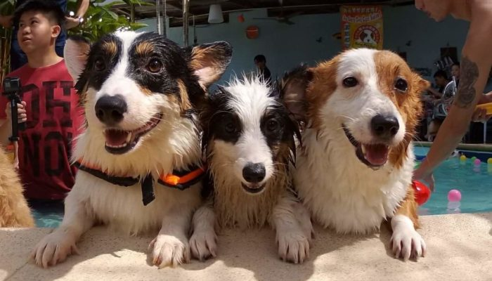 Facebook Friday: Meeting The Dogs of The Daily Corgi!