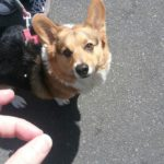 How I Got Rejected by Two (Count 'em!) Corgis On My Summer Vacation