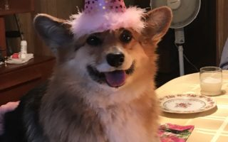 It's Fidgit's Corgi-licious 7th Birthday!