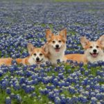Flashback Friday: 16 Corgi Smiles Amongst Bluebonnets!