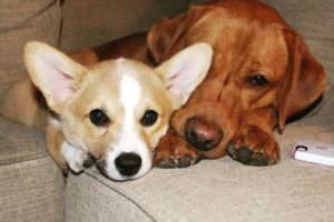 Corgis and Labs: Twice As Nice!