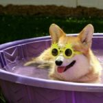 10 Corgis So Cool, They Gotta Wear Shades!