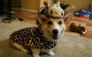 Corgis On Safari!