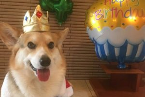 Momozo: The Corgi Who Would Be King