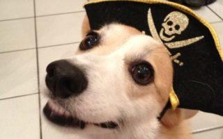 16 Corgi Smiles and a Cheesy Pirate Grin!