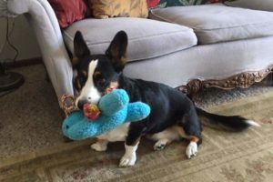 MINE! 51 Corgis and Their Favorite Toys