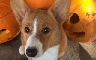 Nothing Says Autumn Like Pumpkins and Corgis!