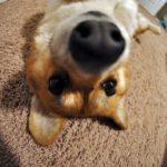 Corgis and The Art Of The Selfie!