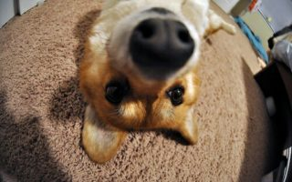 Corgis and The Art Of The Selfie!
