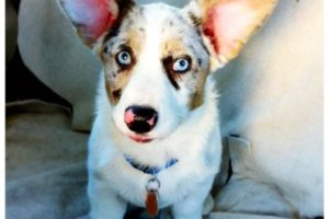 Flashback Friday: An Ode To Cardigan Corgi  Ears