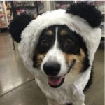 Throwback Thursday: Panda-monium, Corgi Style!