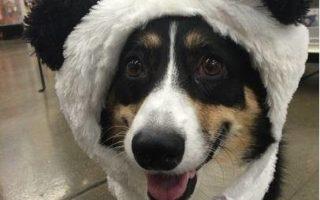 Throwback Thursday: Panda-monium, Corgi Style!